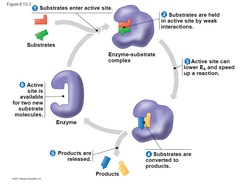 Substrates enter active site.