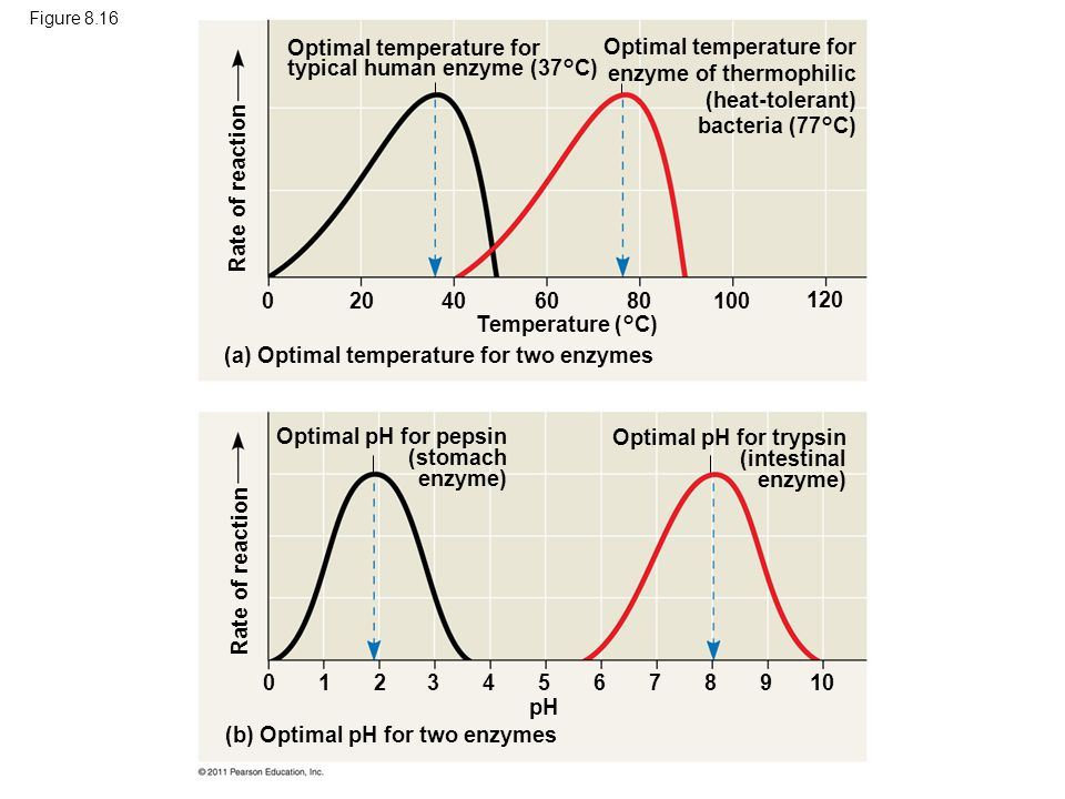 Optimal temperature for typical human enzyme (37°C)