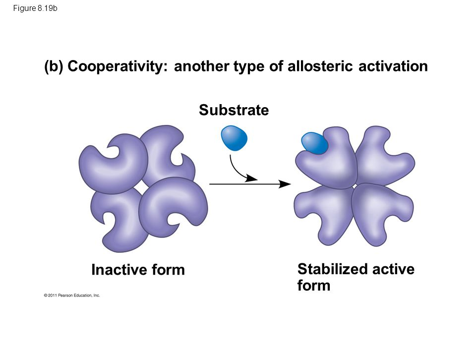 (b) Cooperativity: another type of allosteric activation
