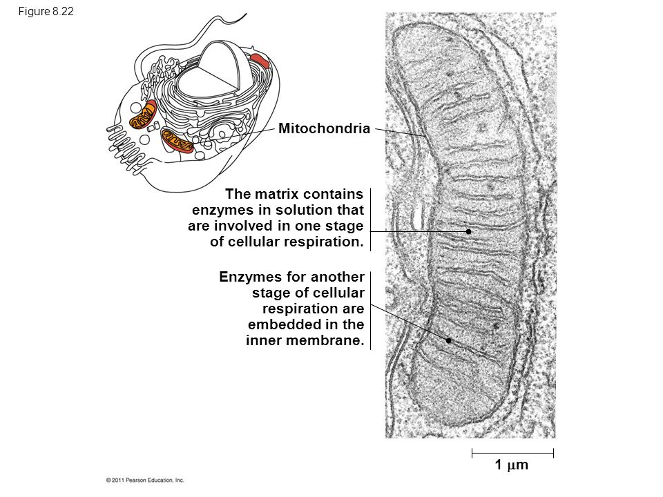 Figure 8.22 Mitochondria. The matrix contains enzymes in solution that are involved in one stage of cellular respiration.