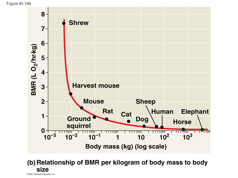 Figure 40.19b Figure 40.19 The relationship of metabolic rate to body size. 107
