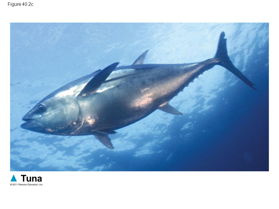 Tuna Figure 40.2c Figure 40.2 Convergent evolution in fast swimmers.