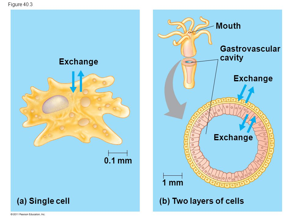 Mouth Gastrovascular cavity Exchange Exchange Exchange 0.1 mm 1 mm