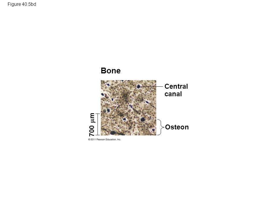 Bone Central canal 700 m Osteon Figure 40.5bd