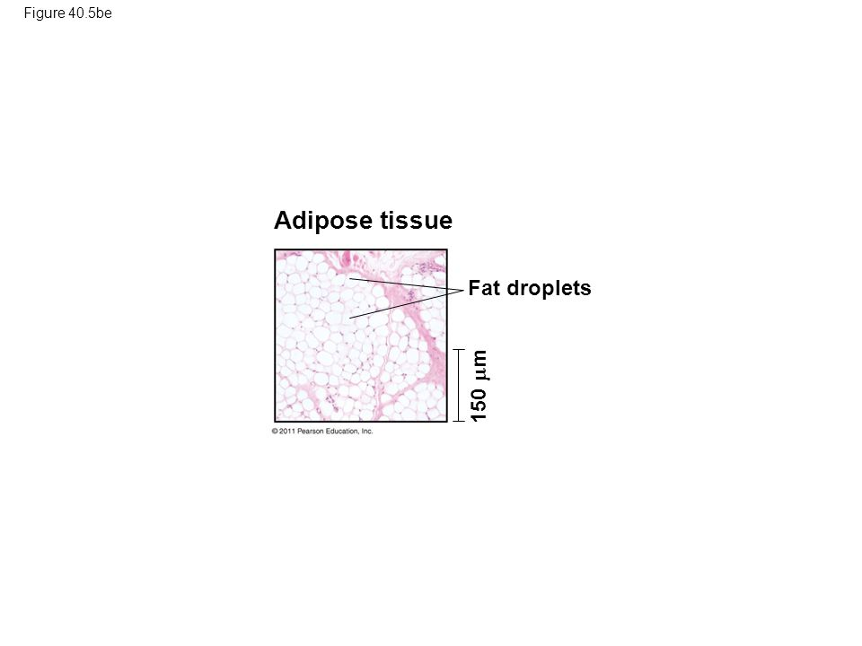 Adipose tissue Fat droplets 150 m Figure 40.5be