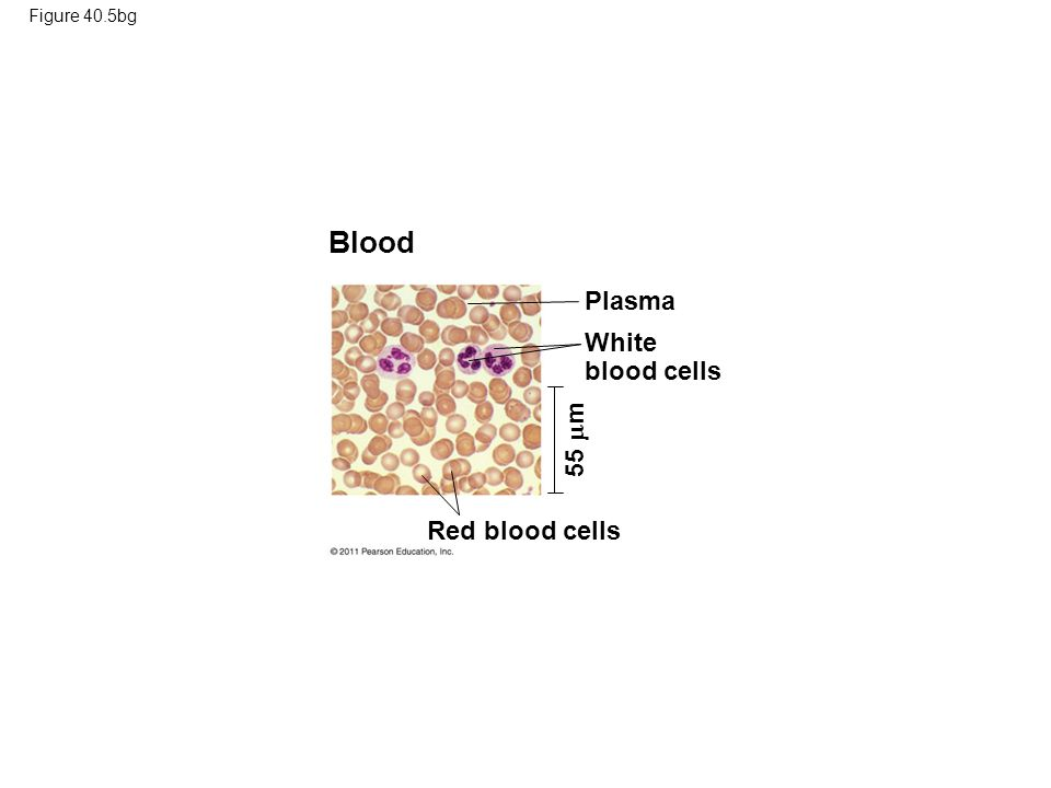 Blood Plasma White blood cells 55 m Red blood cells Figure 40.5bg