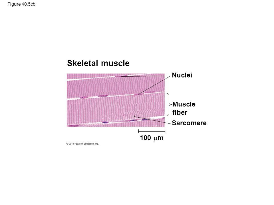 Skeletal muscle Nuclei Muscle fiber Sarcomere 100 m Figure 40.5cb