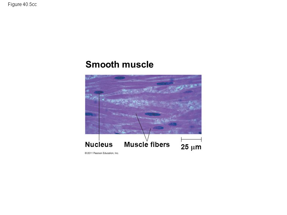 Smooth muscle Nucleus Muscle fibers 25 m Figure 40.5cc