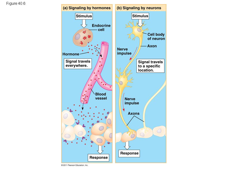 Figure 40.6 Figure 40.6 Signaling in the endocrine and nervous systems 53