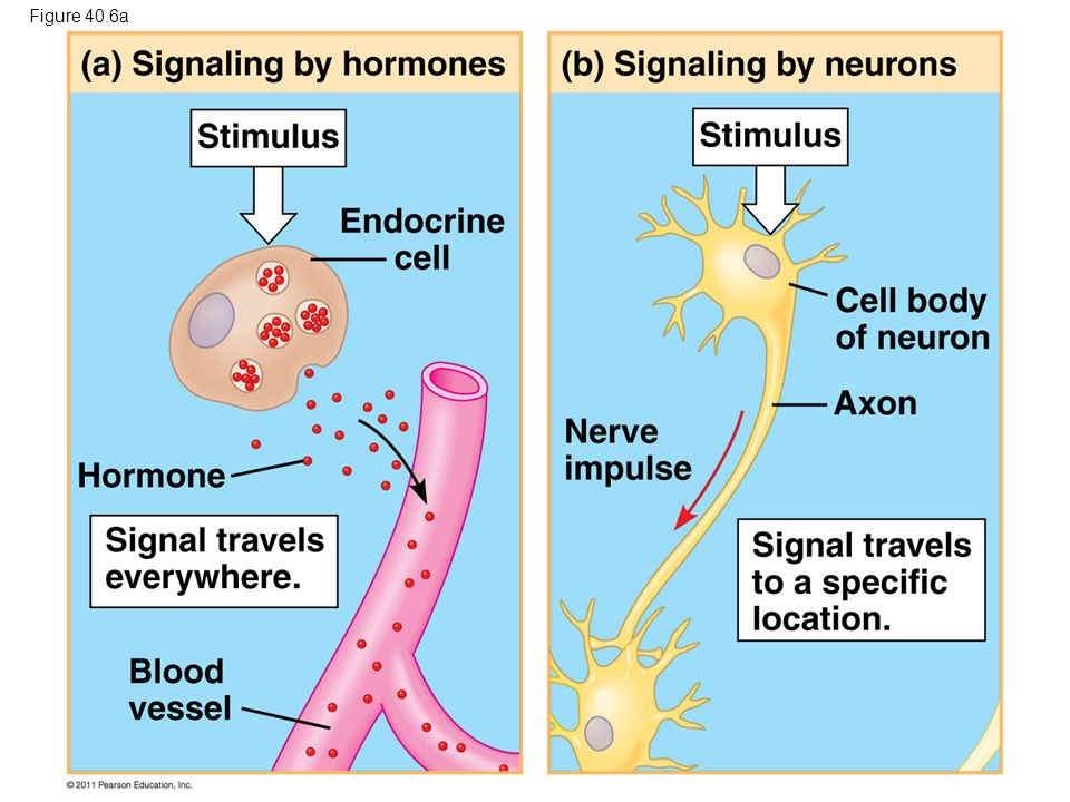 Figure 40.6a Figure 40.6 Signaling in the endocrine and nervous systems 54