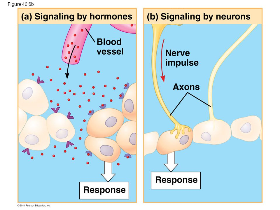 Figure 40.6b Figure 40.6 Signaling in the endocrine and nervous systems 56