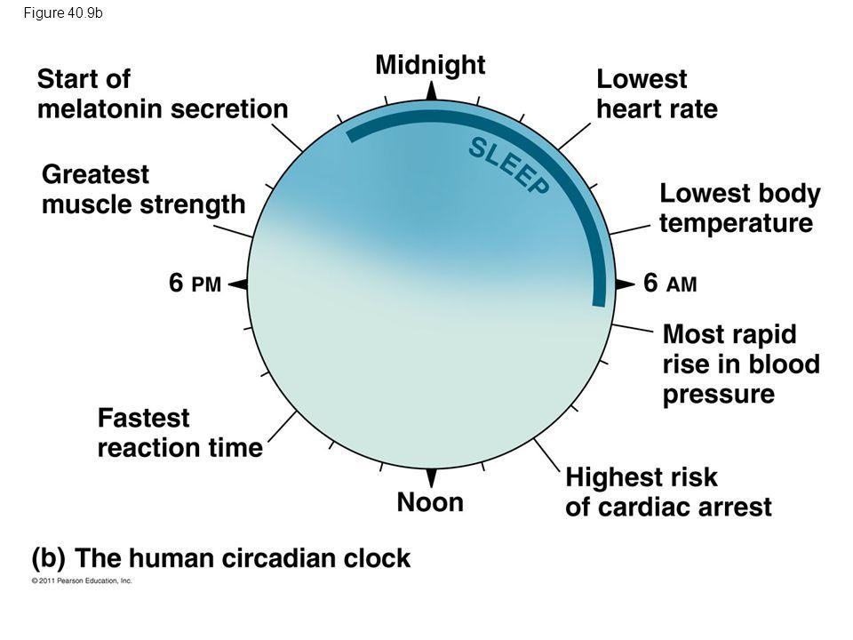 Figure 40.9b Figure 40.9 Human circadian rhythm. 69