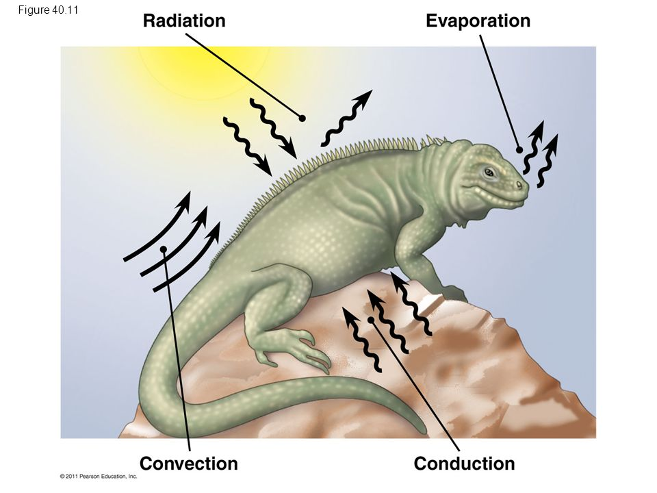 Figure 40.11 Figure 40.11 Heat exchange between an organism and its environment. 79
