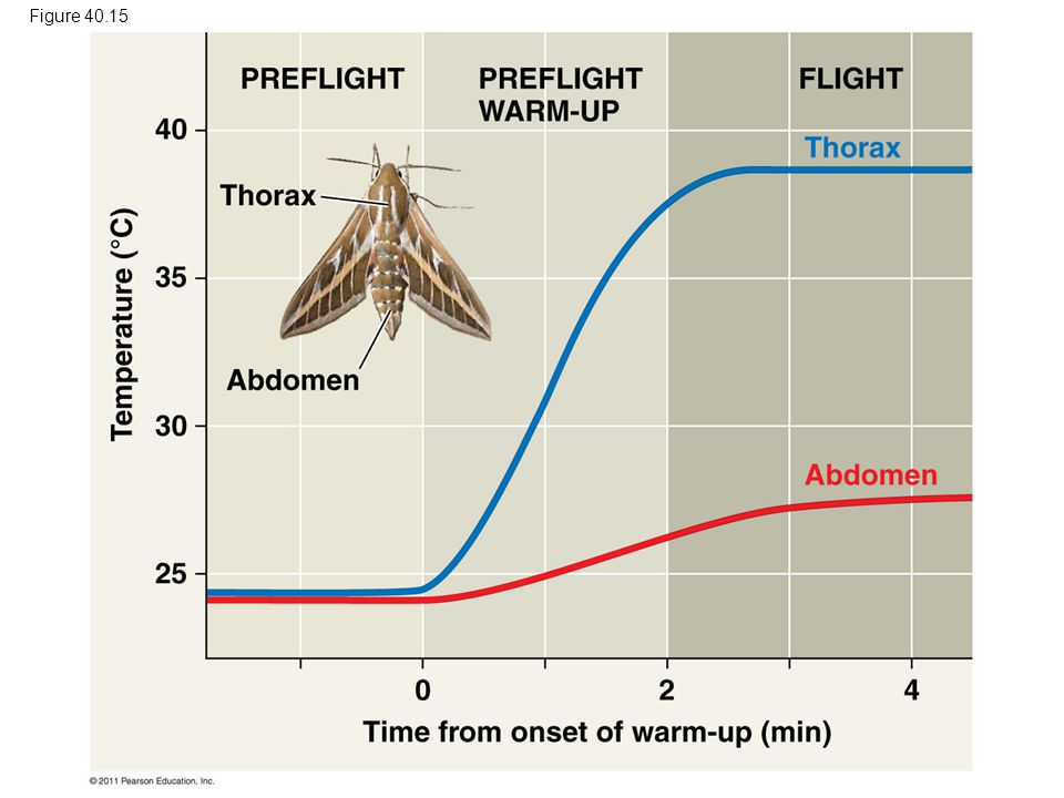 Figure 40.15 Figure 40.15 Preflight warm-up in the hawkmoth. 91