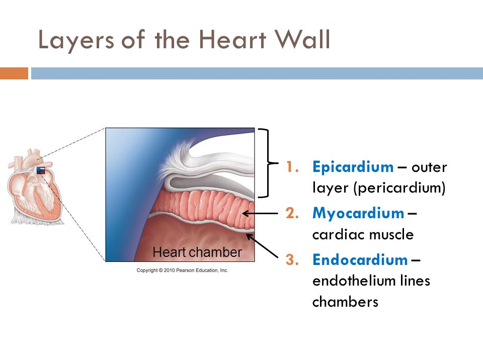 Layers of the Heart Wall