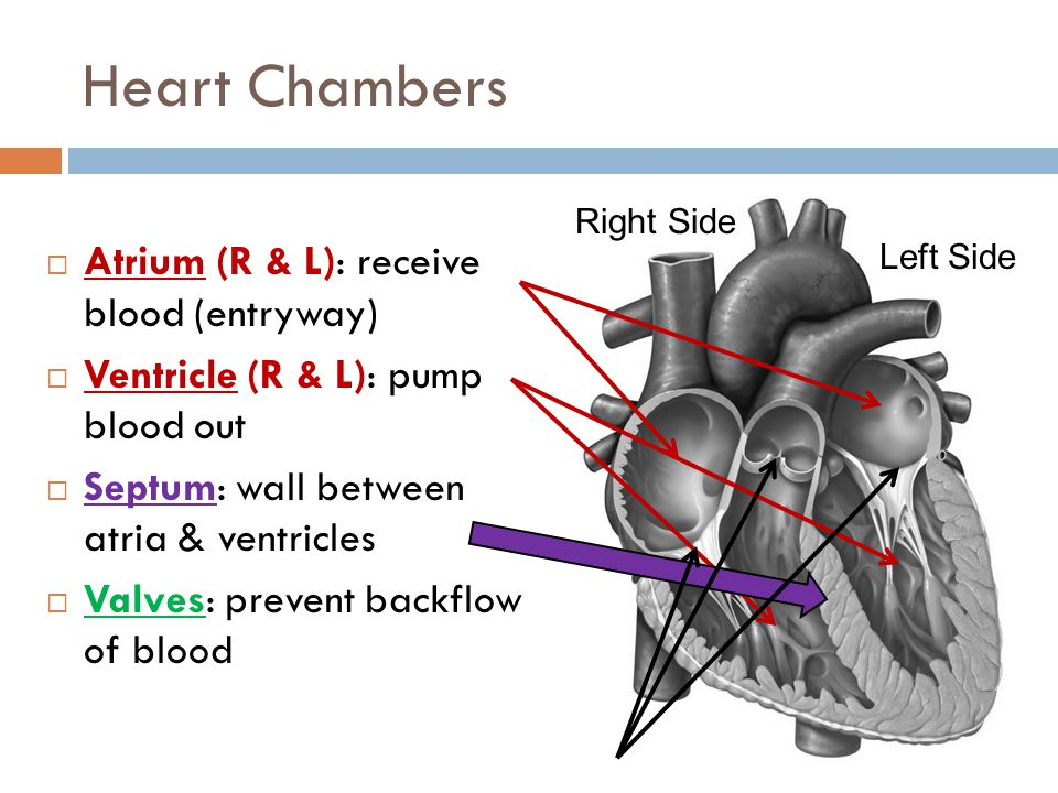 Heart Chambers Atrium (R & L): receive blood (entryway)