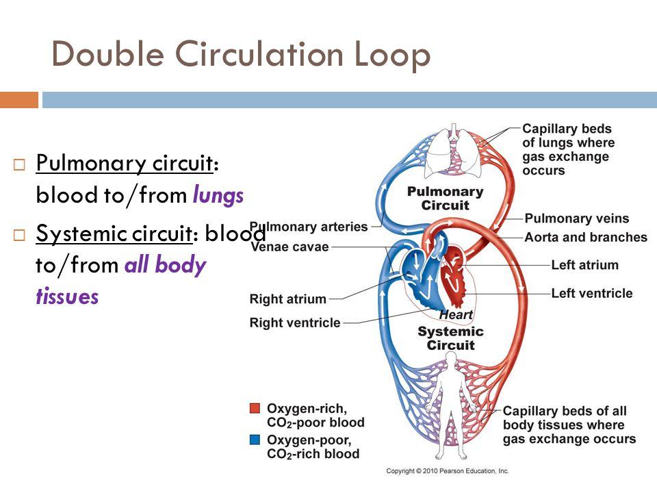 Double Circulation Loop