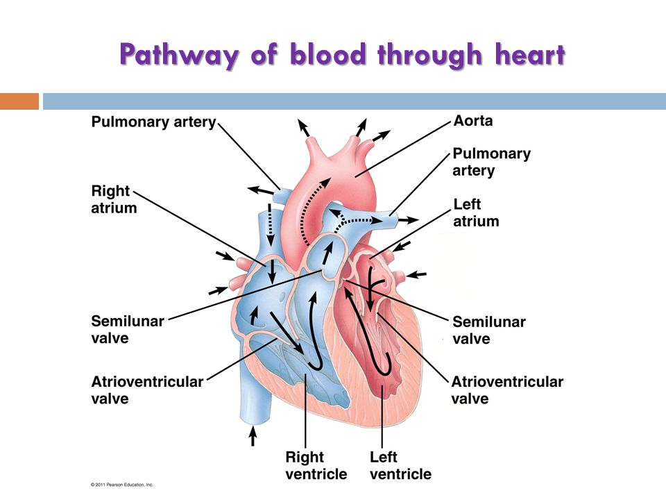Pathway of blood through heart