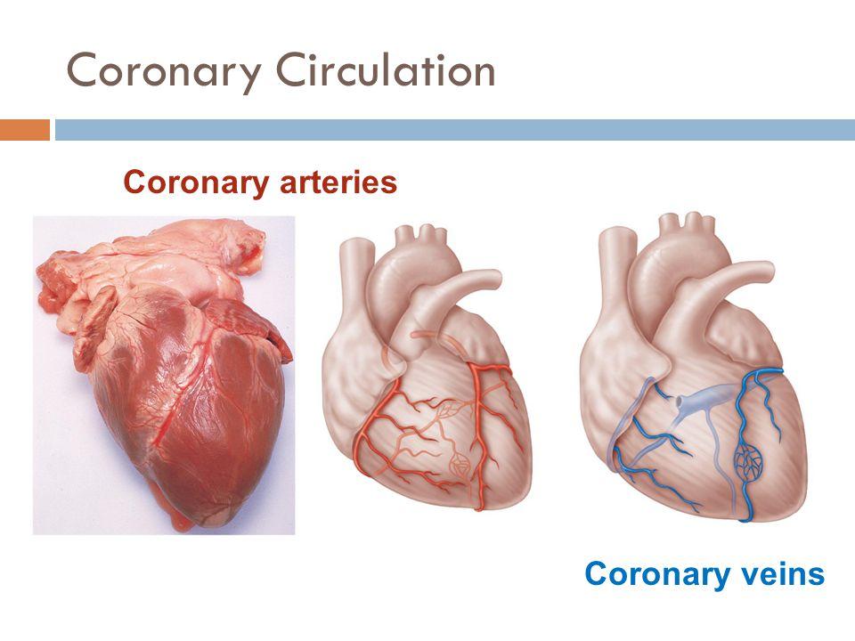 Coronary Circulation Coronary arteries Coronary veins