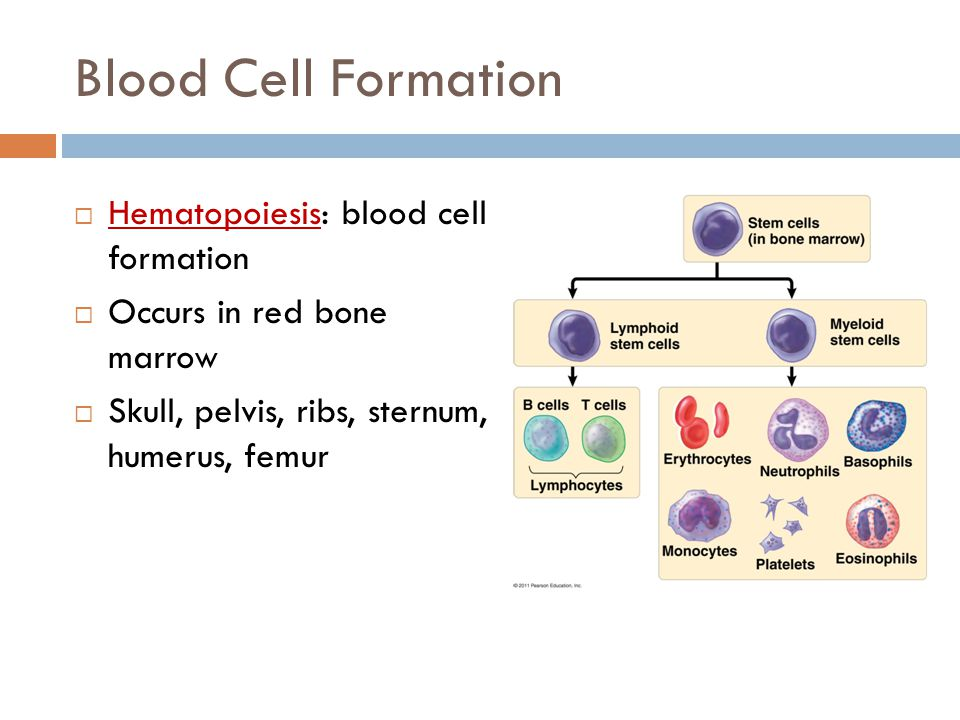 Blood Cell Formation Hematopoiesis: blood cell formation