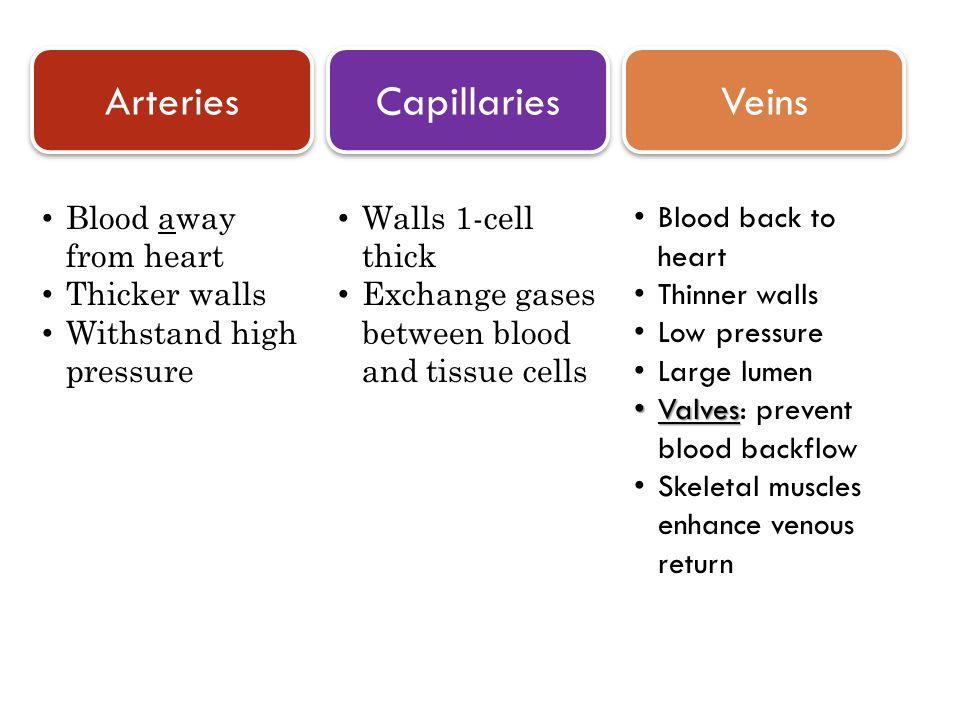 Arteries Capillaries Veins Blood away from heart Thicker walls