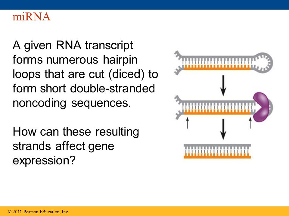 miRNA A given RNA transcript forms numerous hairpin loops that are cut (diced) to form short double-stranded noncoding sequences.