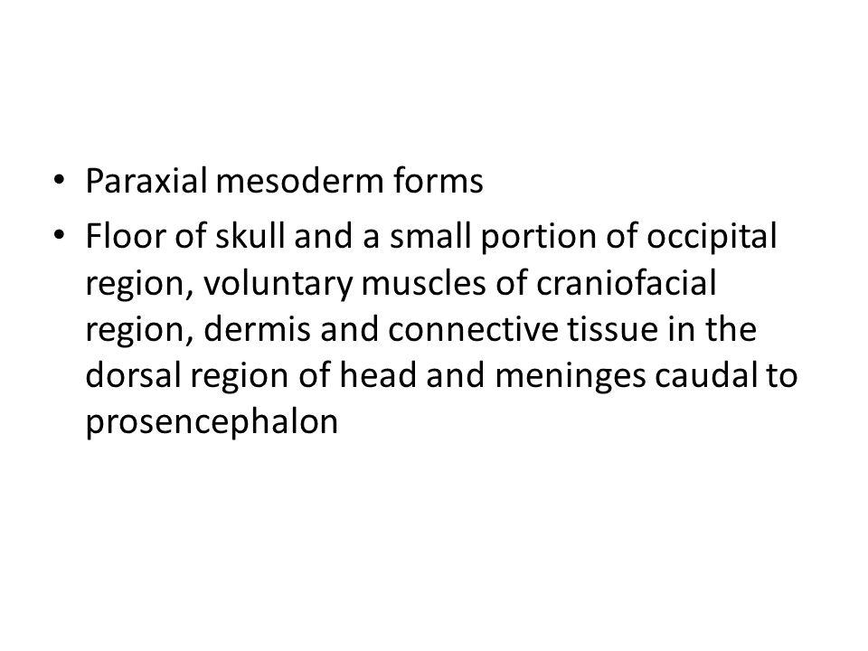 Paraxial mesoderm forms