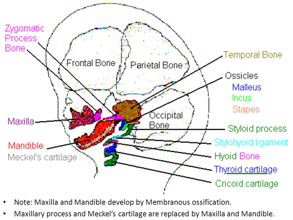 Note: Maxilla and Mandible develop by Membranous ossification.