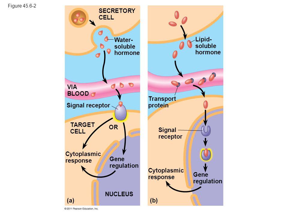 Water- soluble hormone Lipid- soluble hormone