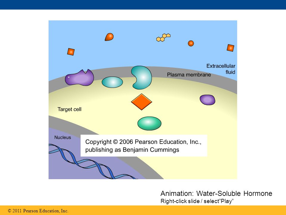 Animation: Water-Soluble Hormone Right-click slide / select Play