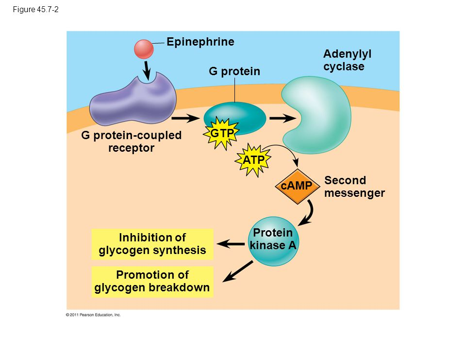 G protein-coupled receptor GTP