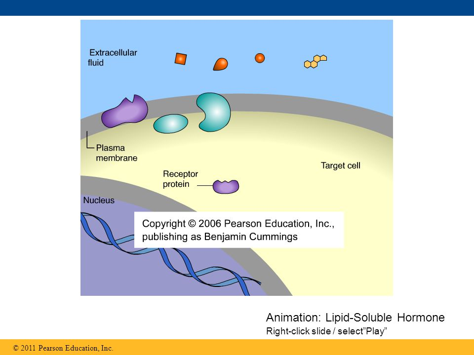 Animation: Lipid-Soluble Hormone Right-click slide / select Play