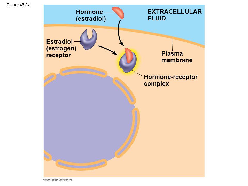 Estradiol (estrogen) receptor