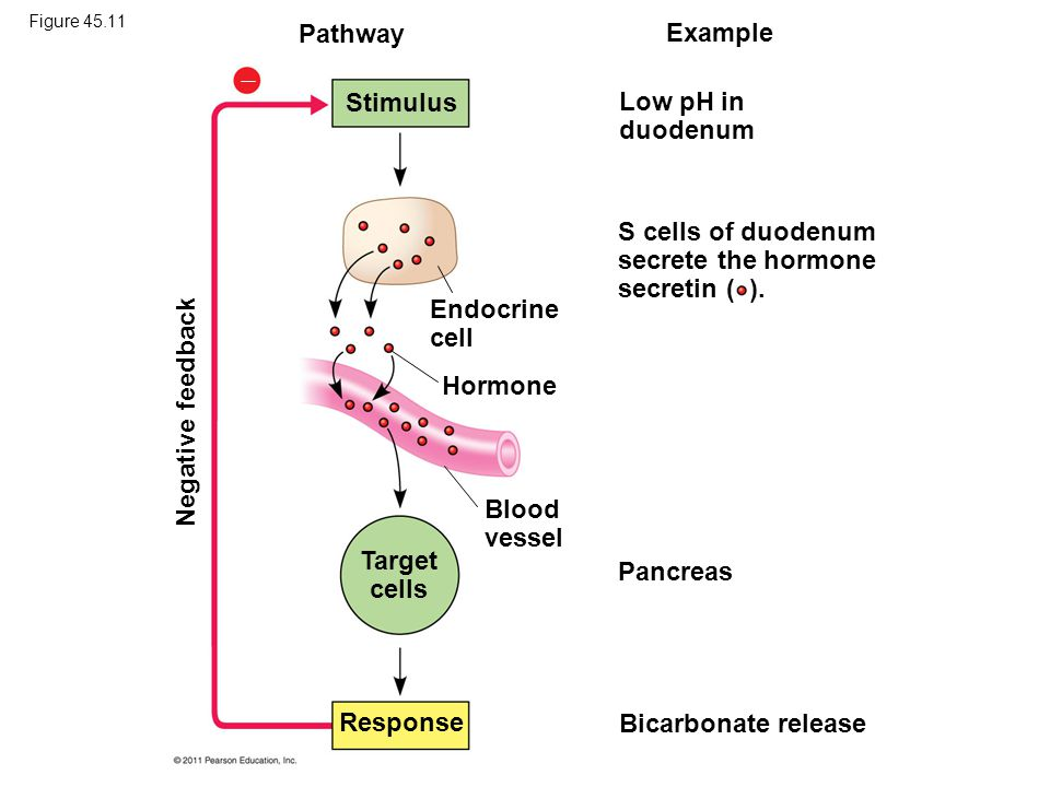 S cells of duodenum secrete the hormone secretin ( ).