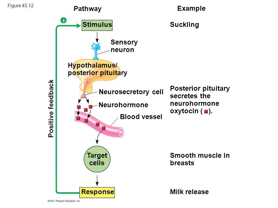 Hypothalamus/ posterior pituitary