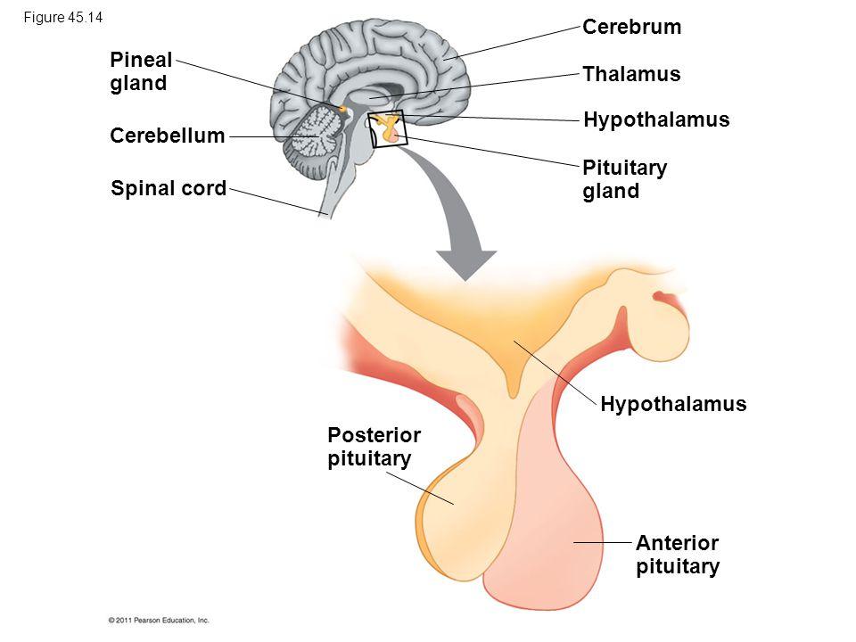 Cerebrum Pineal gland Thalamus Hypothalamus Cerebellum Pituitary gland