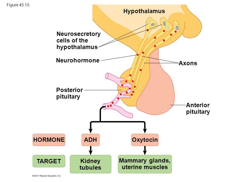 Mammary glands, uterine muscles