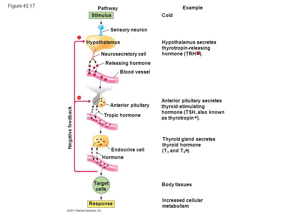 Figure 45.17 Pathway. Example. Stimulus. Cold. Sensory neuron.  Hypothalamus. Hypothalamus secretes thyrotropin-releasing hormone (TRH ).