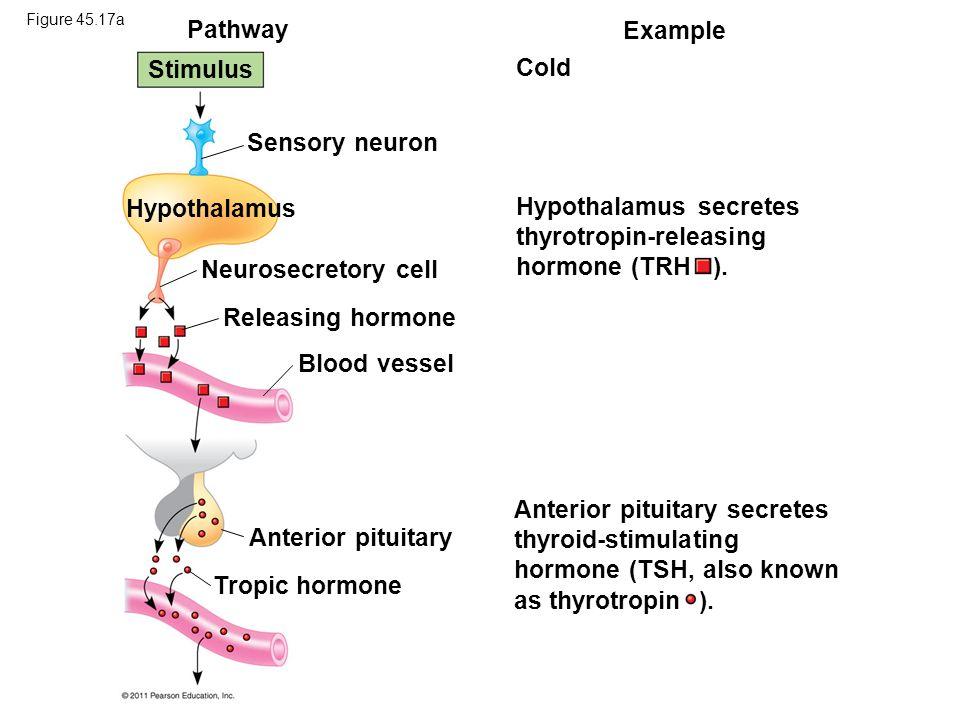 Hypothalamus secretes thyrotropin-releasing hormone (TRH ).
