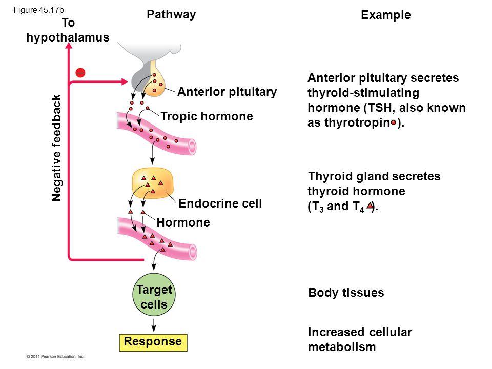 To hypothalamus Target cells