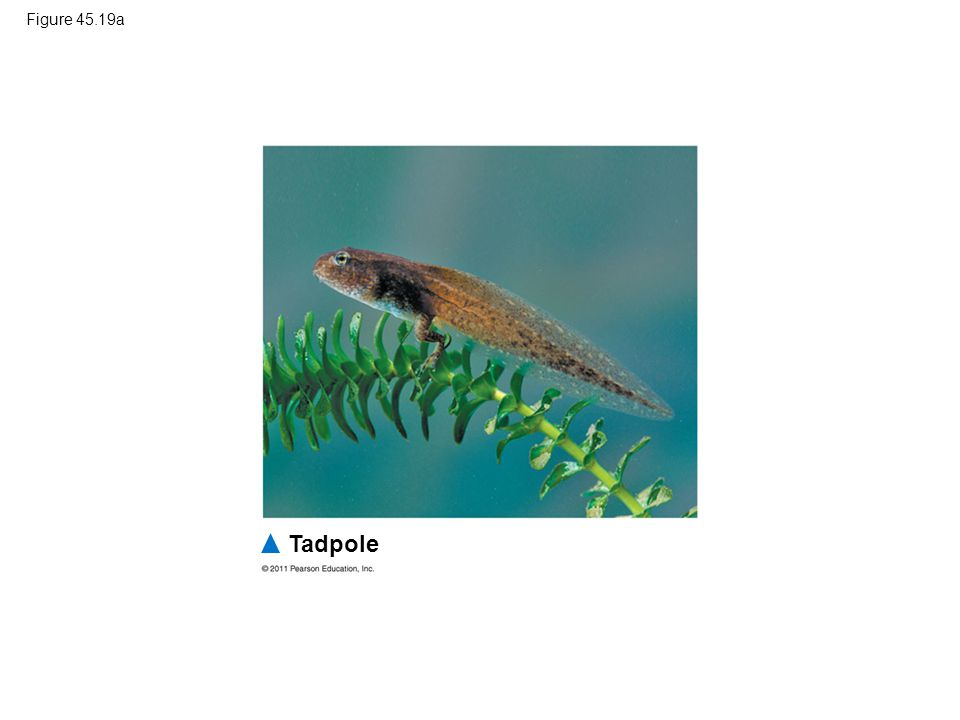 Figure 45.19a Figure 45.19 Specialized role of a hormone in frog metamorphosis. Tadpole