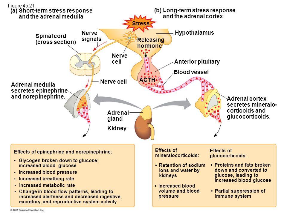 Short-term stress response and the adrenal medulla (b)