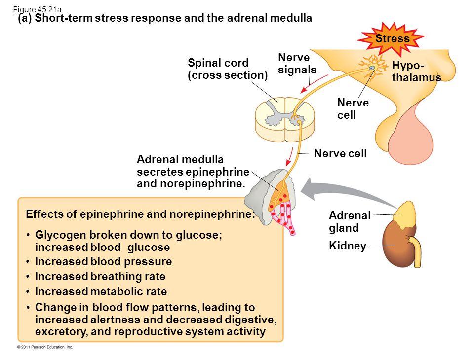 (a) Short-term stress response and the adrenal medulla