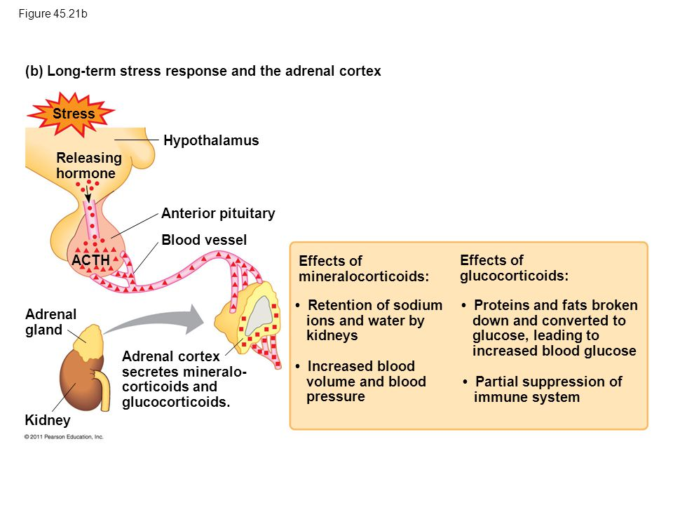 (b) Long-term stress response and the adrenal cortex