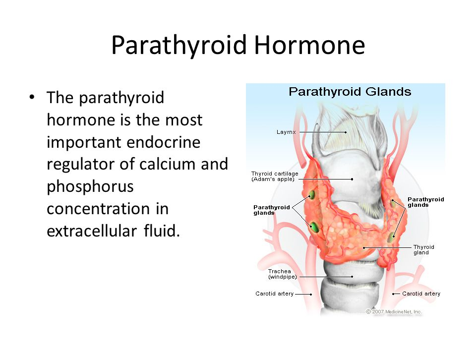 Parathyroid Hormone The parathyroid hormone is the most important endocrine regulator of calcium and phosphorus concentration in extracellular fluid.