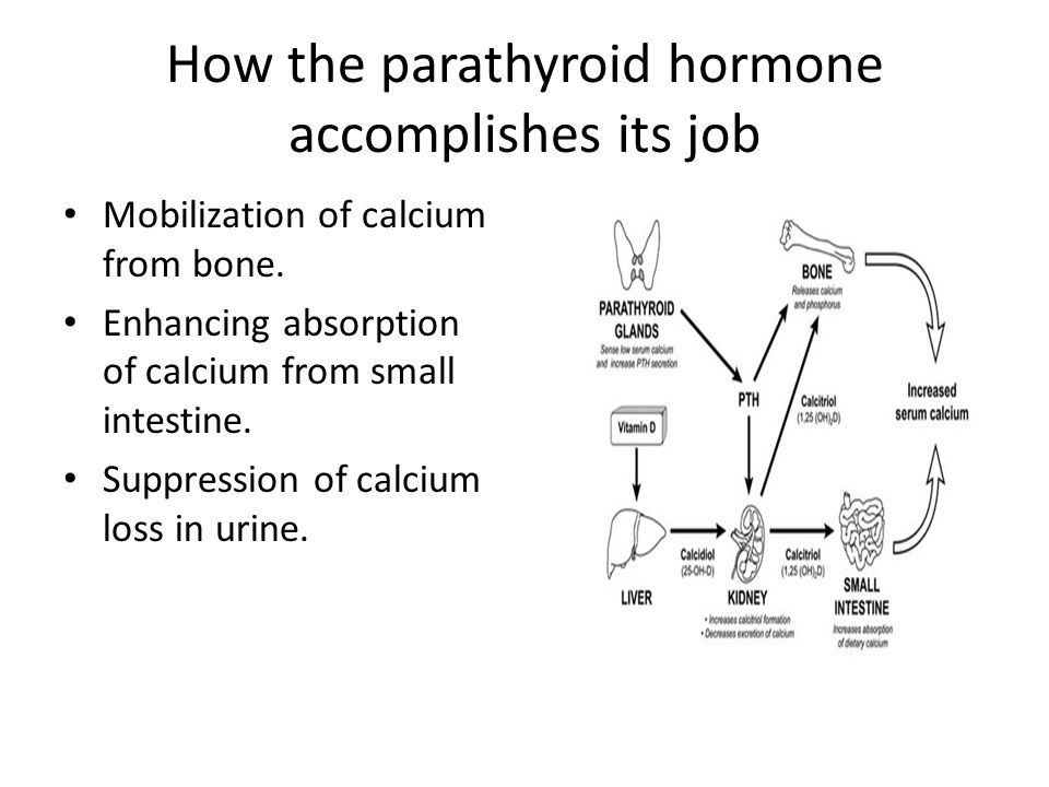 How the parathyroid hormone accomplishes its job