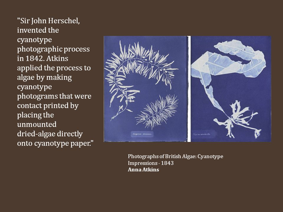 Sir John Herschel, invented the cyanotype photographic process in 1842. Atkins applied the process to algae by making cyanotype photograms that were contact printed by placing the unmounted dried-algae directly onto cyanotype paper.