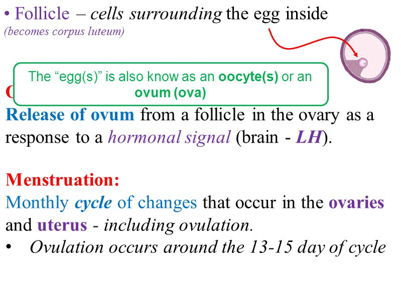 The egg(s) is also know as an oocyte(s) or an ovum (ova)
