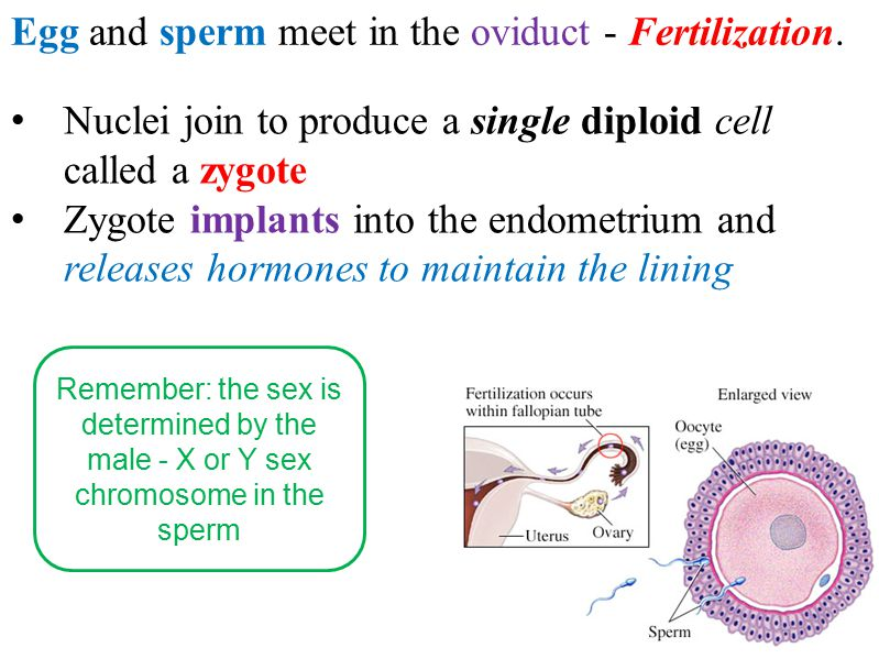 Egg and sperm meet in the oviduct - Fertilization.