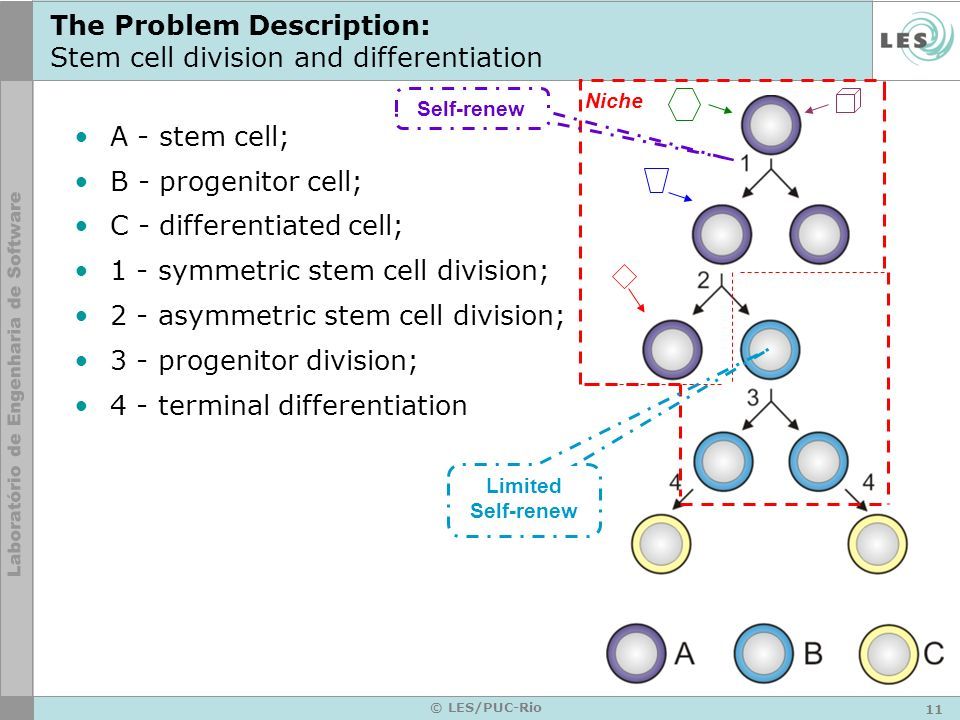 The Problem Description: Stem cell division and differentiation